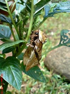 moth Dudusa vethi ngengat 02