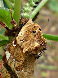 moth Dudusa vethi ngengat 12