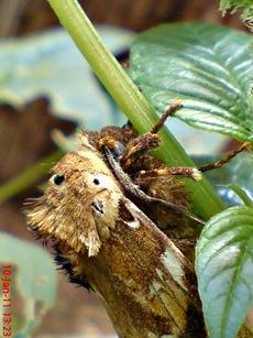 moth Dudusa vethi ngengat 10