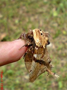 ngengat moth Dudusa vethi 07