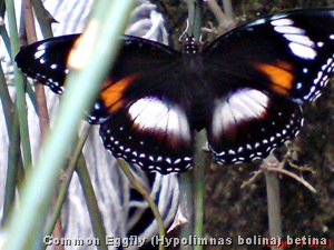 Common Eggfly Butterfly - Hypolimnas bolina - female 5