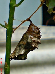 Common Eggfly Butterfly - Hypolimnas bolina - pupa 2