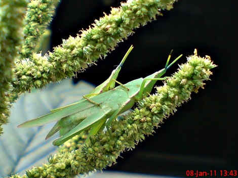 usaha pembajakan perkawinan belalang hijau 01
