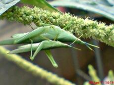 usaha pembajakan perkawinan belalang hijau 13