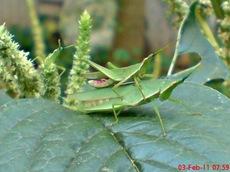 usaha pembajakan perkawinan belalang hijau 4