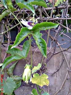 Passiflora edulis-Markisa-Passion Fruit 7