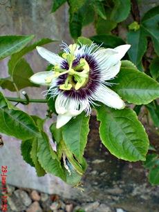 Passiflora edulis-Markisa-Passion Fruit 5