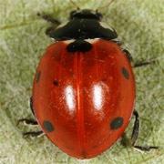 Coccinella-septempunctata-04