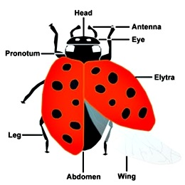 lady_beetle_anatomy