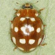 Calvia-quatuordecimguttata-01
