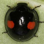 Chilocorus-renipustulatus-01