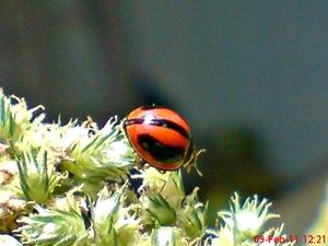 kumbang kepik kumbang koksi 07