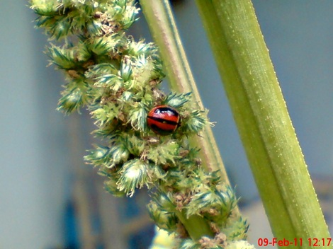 kumbang kepik kumbang koksi 01