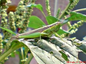 belalang hijau Oxya chinensis 9
