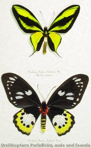 ornithoptera paradisea pair