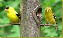 800px-American_Goldfinch-27527