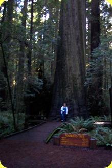 Redwoods(2)
