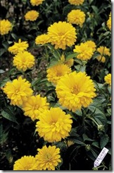HELIOPSIS_Bressingham_Doubloon[1]