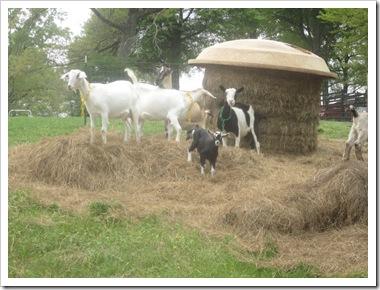 goats 023