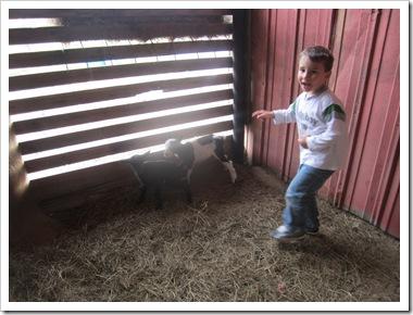 goats 024