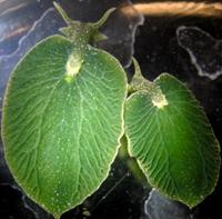 Elysia chlorotica : Siput yang bisa melakukan fotosintesis