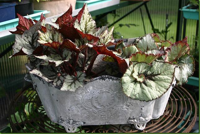 begonia urne