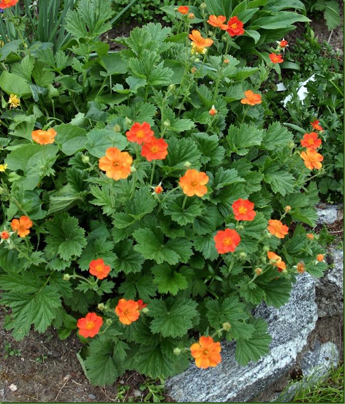 orangegeum