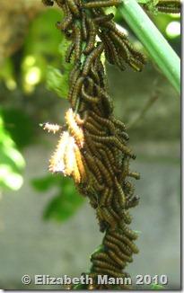 clustered caterpillars