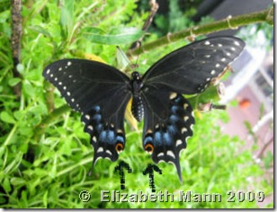 female black swallowtail (resized)