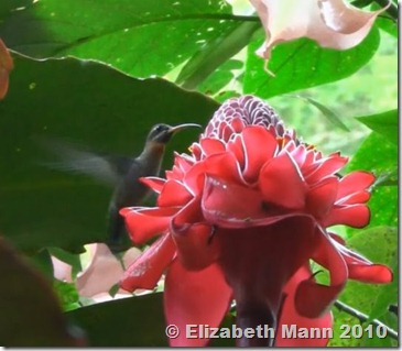hummingbird croped