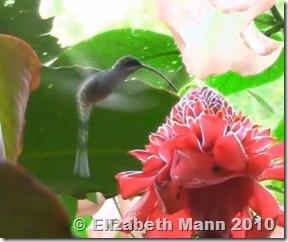 Hummingbird croped 2