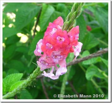 Pink Porterweed