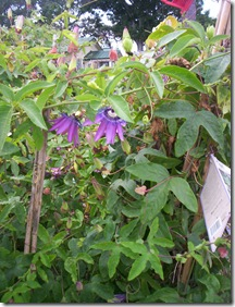 passionflower host plant 2