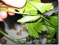 caterpillar 2 in chrysalis
