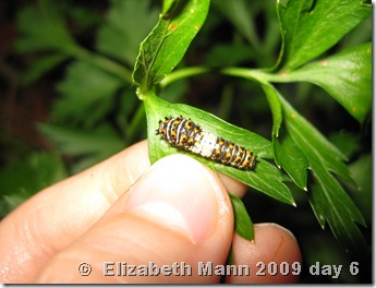 black swallowtail caterpillar day 6