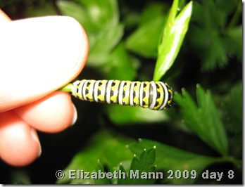 Black Swallowtail 8 days old