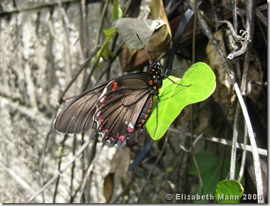 Polydamas Swallowtail On Pipevine (origanal)