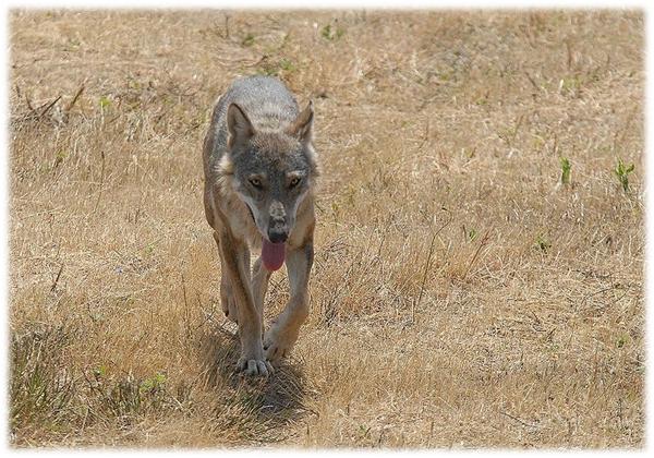 Canis Lupus italicus. Fonte. Wikipedia