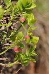 04-06 brusnice borůvka - květ
