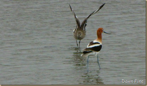 Padre Island birding_055