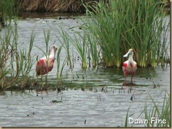 Padre Island birding_164