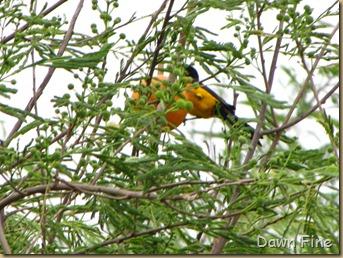 fallout birds padre island_075