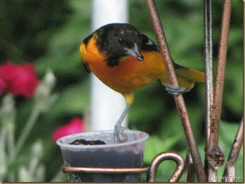 birds at feeder_20090623_013