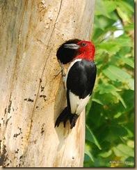 birdgirs red headed woodp