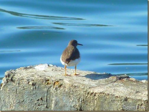 tomales bay birding_019