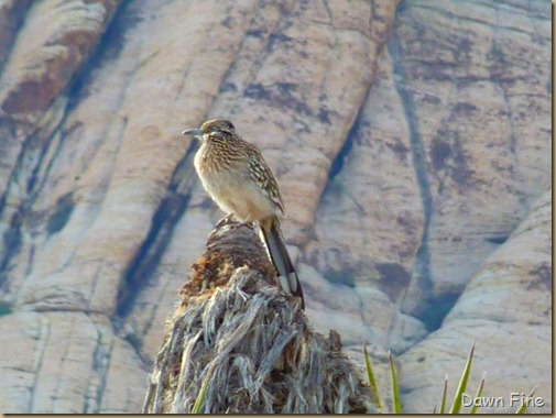 Christmas bird count red rock canyon_037