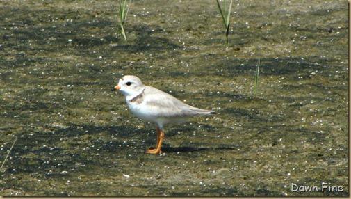 south beach birding_066