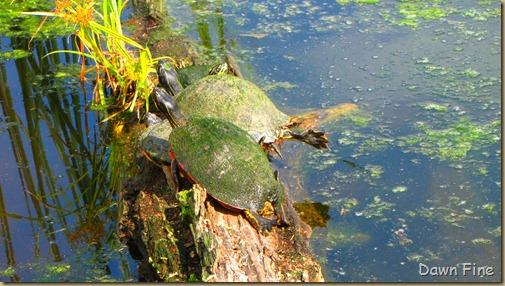 Mary river turtle algae - photo#8