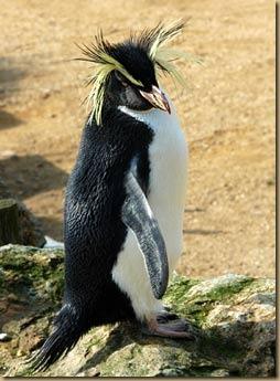 rockhopper-penguin-4