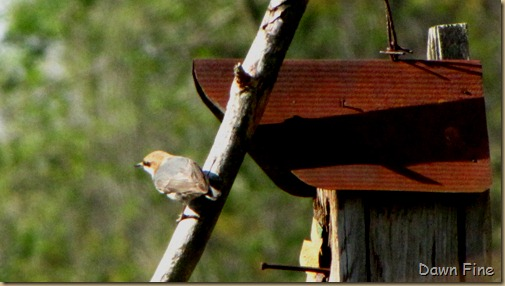 yard birding_023